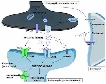 Circuito dopamina glutammato