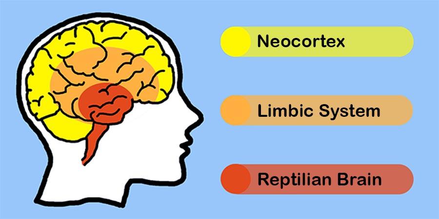 cervello trino sistema limbico